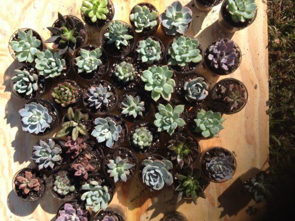 Succulents in the Sun - Succulent Wedding Favors