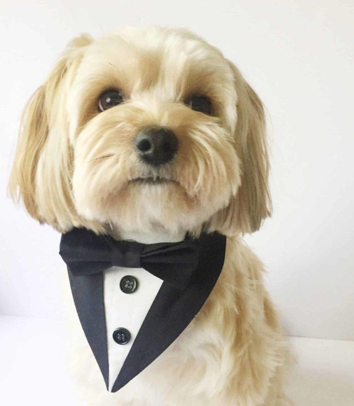 dog tuxedo bandana for weddings